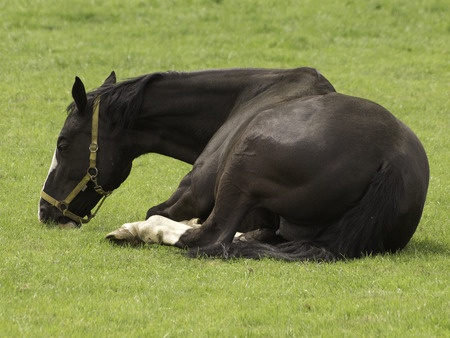 Horse colic